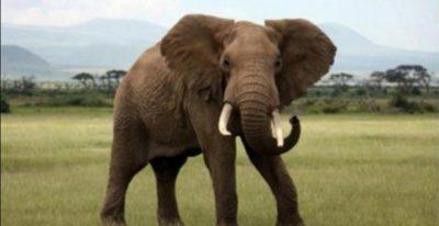 القبض على هندي  قتل أنثى فيل حبلى بطريقة مروعة