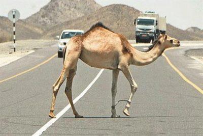 """""""المرور"""": عبور الحيوانات السائبة من غير الأماكن المخصصة مخالفة"""