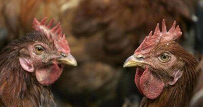 بعد كورونا والفطر الأسود.. إنفلونزا الطيور يتفشى في العراق