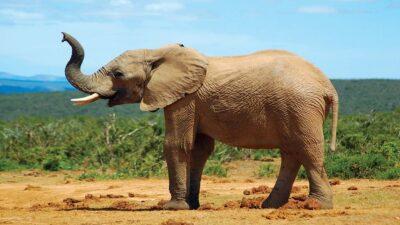 بالصور.. فيل حزين يمشي 15 ميلاً في جنازة صديقه المفضل