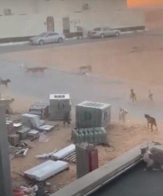 أمانة القصيم تصدر بيانًا حول مقطع فيديو الكلاب الضالة المنتشرة في بريدة